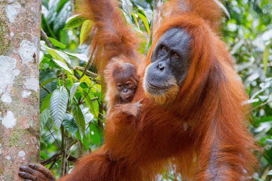 orangutans in kalimantan indonesia