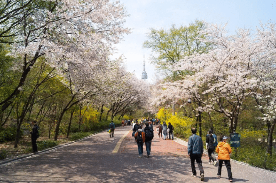 where to see blossom in seoul korea